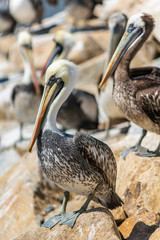 A standing pelican over the rocks waiting for some fish in front of the Pacific Ocean and amazing place for wildlife and specially bird watching at the sea coastline, Constitucion, Chile