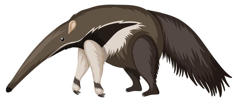 Anteater on white background