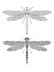 Vector illustration with hand drawn dragonfly. Two variants of insect: outline and silhouette.