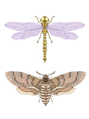Vector illustration with hand drawn two insects: dragonfly and dead head moth.