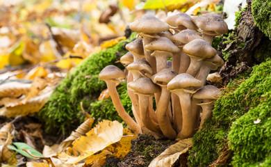 Armillaria mellea, commonly known as honey fungus, is a basidiomycete fungus in the genus Armillaria. Beautiful edible mushroom.
