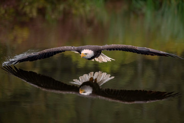 Male Bald Eagle Flying Over a Pond Casting a Reflection in the Water with Fall Color