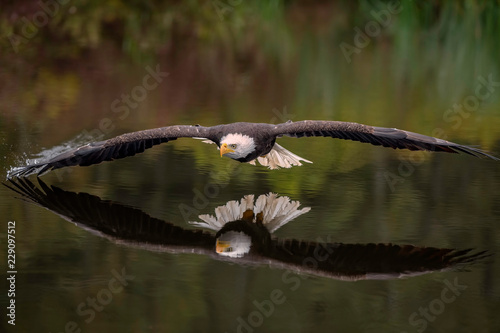 Wall mural Male Bald Eagle Flying Over a Pond Casting a Reflection in the Water with Fall Color