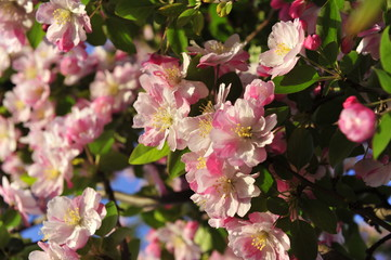 Chinese flowering crab-apple blooming