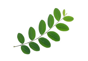 Wall Mural - green leaf isolated on white background, flat lay, top view