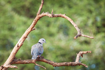 Adult Cape turtle dove beautifully perched on a branc.