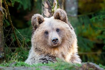 Wall Mural - Bear (Ursus arctos) in autumn forest
