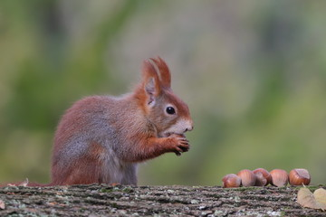 Art view on wild nature. Cute red squirrel with long pointed ears eats a nut in autumn scene with nice deciduous forest in the background. Wildlife in November forest. Squirrel in habitat.