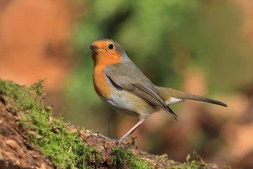 Photo of European robin (Erithacus rubecula) sits on a stump. Detailed and bright portrait. Autumn landscape with a song bird. Erithacus rubecula. Wildlife scene from nature.