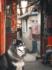 Husky in Hutong - Beijing