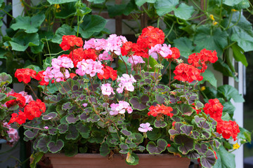 Red and Pink Geranium Plants in Long plant trough