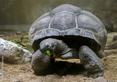 The Dark Aldabra Tortoise Science Name Aldabrachelys
