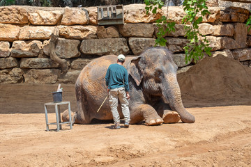 Elephant keeper clean his lying animal