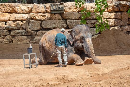 Elephant keeper clean his lying animal