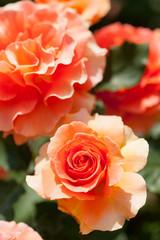 花壇のバラ