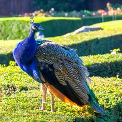 Wild peacock in British Park - Warwick,  Warwickshire, United Kingdom