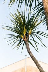 Palm tree in the evening light in Southern Italy.