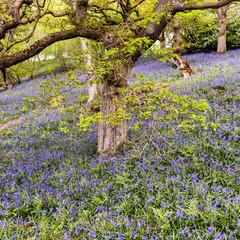Bluebells on Snilesworth moor near Osmotherley