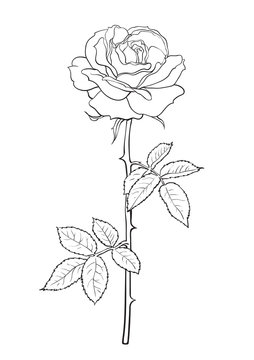 Black and white rose flower with leaves and stem. Decorative element for tattoo, greeting card, wedding invitation. Hand drawn vector illustration.