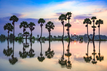 Palm trees on rice paddy in sunrise, An Giang province, Vietnam.