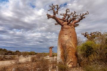 Baobab trees and savannah