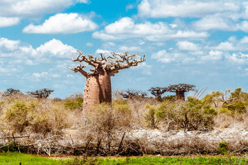 In de dag Baobab Baobab forest and savannah