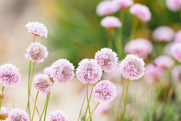 Beautiful delicate pink flowers to be found on dunes of Algarve coast, Portugal