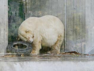Eisbär mit Autoreifen