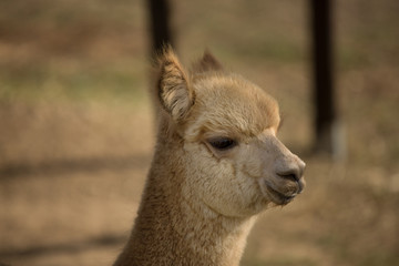 Close up of a beautiful Alpaca_4