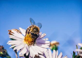 Bee pollinates flowers, macro photo