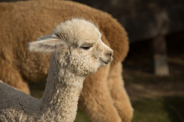 Close up of a beautiful Alpaca_3