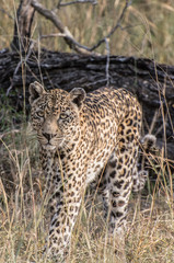 Leopard (Panthera pardus) walking through grass in the bush in the Sabi Sands, Greater Kruger, South Africa