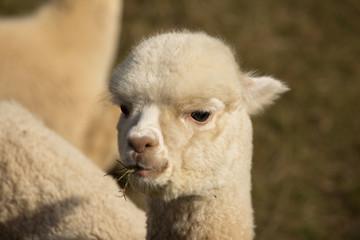 Close up of a beautiful Alpaca_1