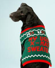 Adorable young Black Labrador Retriever dog wearing a tacky holiday sweater