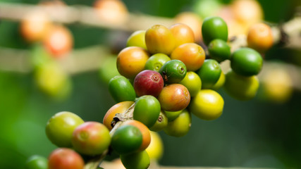 The tree Arabica coffee  its result of it is called cherries they are starting to ripen so there are colors red yellow green mingle on a branch and green leaves look natural to look beautiful.