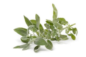 salvia comune Salvia officinalis