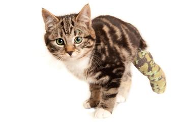 Fourteen week old tabby kitten with broken rear leg