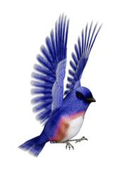 3D Rendering Eastern Bluebird on White