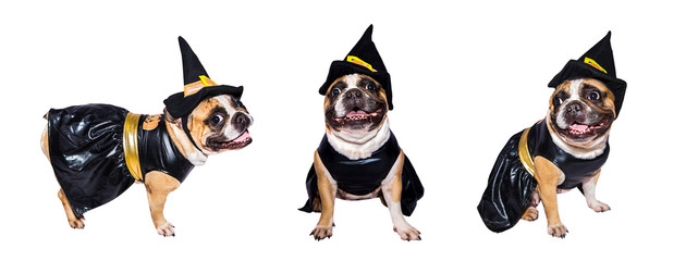 Set of images of French Bulldog in halloween costumes isolated on a white background.