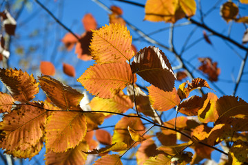 Beautiful autumn multicolored hazel leaves. Red, yellow, green against a blue sky. Close-up.