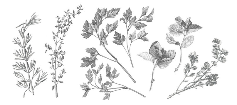 Garden Herbs Pencil Illustration Isolated on White