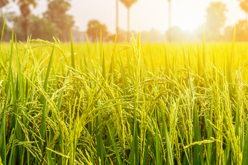 Image is blurred, Rice fields green and gold is beautiful images. Background images can be made and used for advertising.