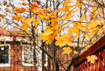 Background of autumn maple tree branch with yellow leaves
