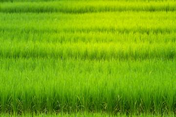 Green rice field under sunlight.