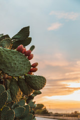Prickly pear tree in Sicily