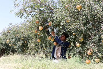 A farmer cultivates pomegranates at a farm in Saada