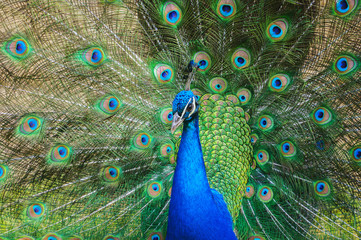 Colorful peacock with tail fully opened