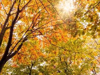 Beautiful autumn landscape. The sun shines through the leaves of yellow maple