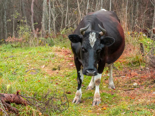 Strayed black cow wandered into the forest