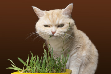 Beautiful cream tabby cat is eating grass, on a brown background